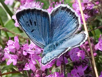 papillon-azure-du-serpolet-bellegarde-poussieu