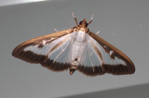 pyrale-du-buis-papillon
